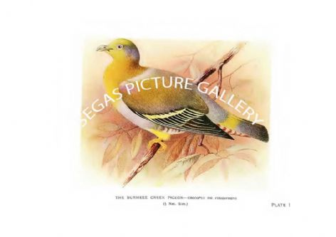 Fine art Print of the Pigeon, the Burmese Green